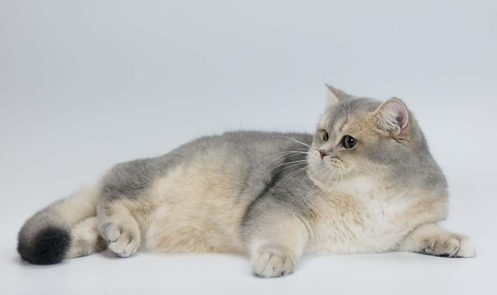 British Shorthair Longhair Cats Kittens