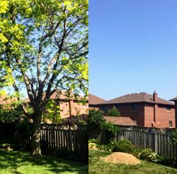 Locust Tree Removal, Stoney Creek Ontario, b&a of Complete Tree Removal, Including Stump Removal, Residential Tree Services,