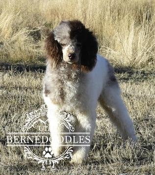 Chuck Moyen Mini Poodle Utah Bernedoodles