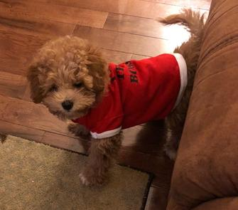 Rolling Meadows Puppies poochon puppy for sale