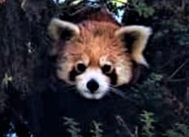 Redpanda In West Sikkim Tour
