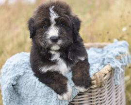 bernedoodle puppy basket brindle