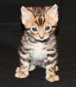 A kitten raised by Bengal breeders