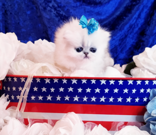 Teacup Persian Kittens For Sale in Texas, CFA Pet Silver-Chinchilla ...