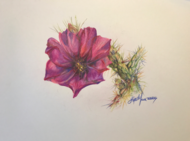 Cholla Bloom colored pencil drawing by Lindy C Severns