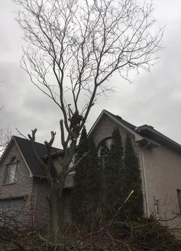 tree climber cutting a locust, ancaster tree services, hamilton tree removal
