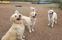 Retrievers playing at Canine Advisory Ltd