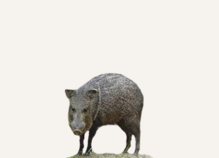 New Mexico Javelina