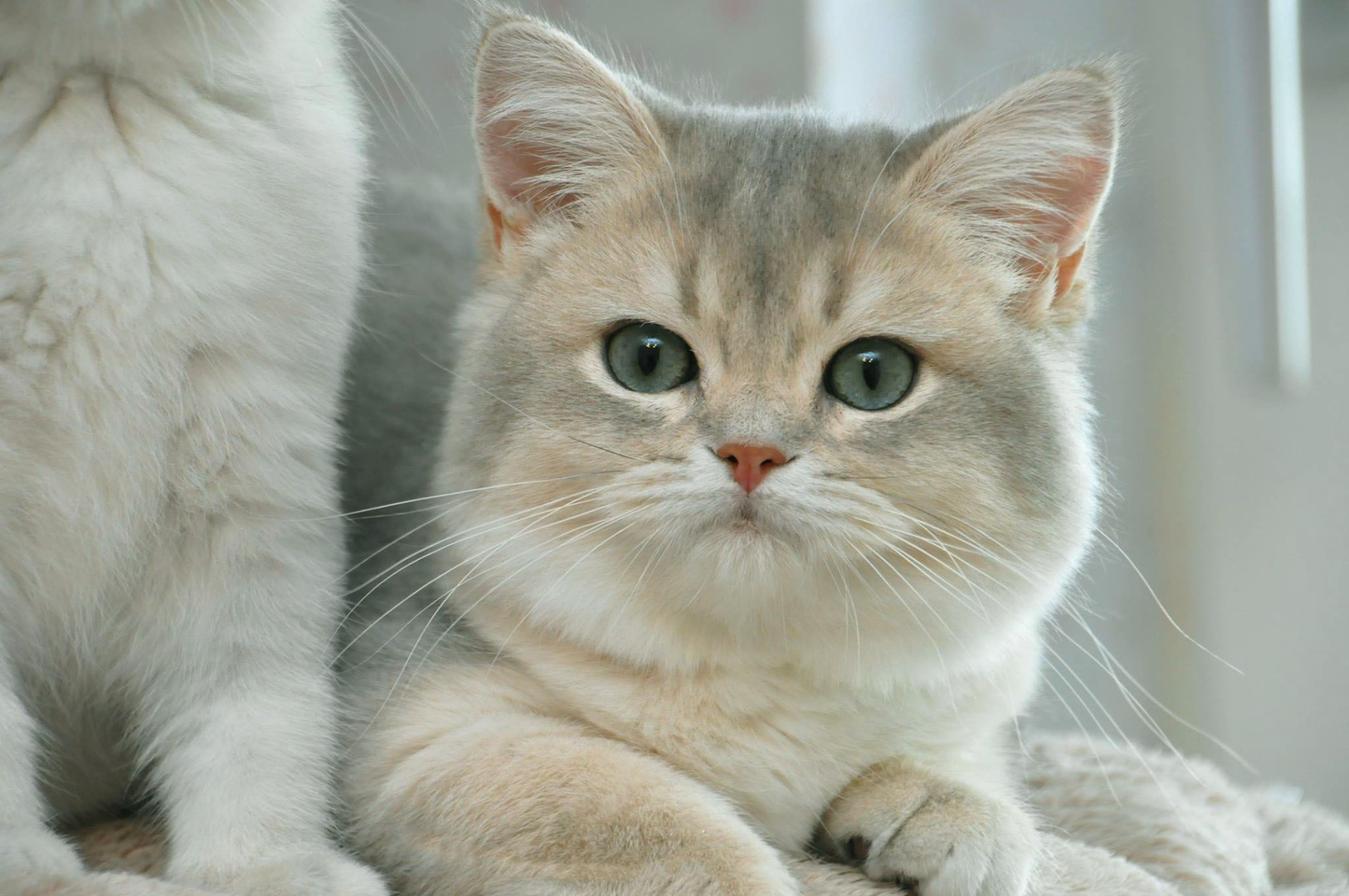 British Shorthair Longhair Cats Kittens