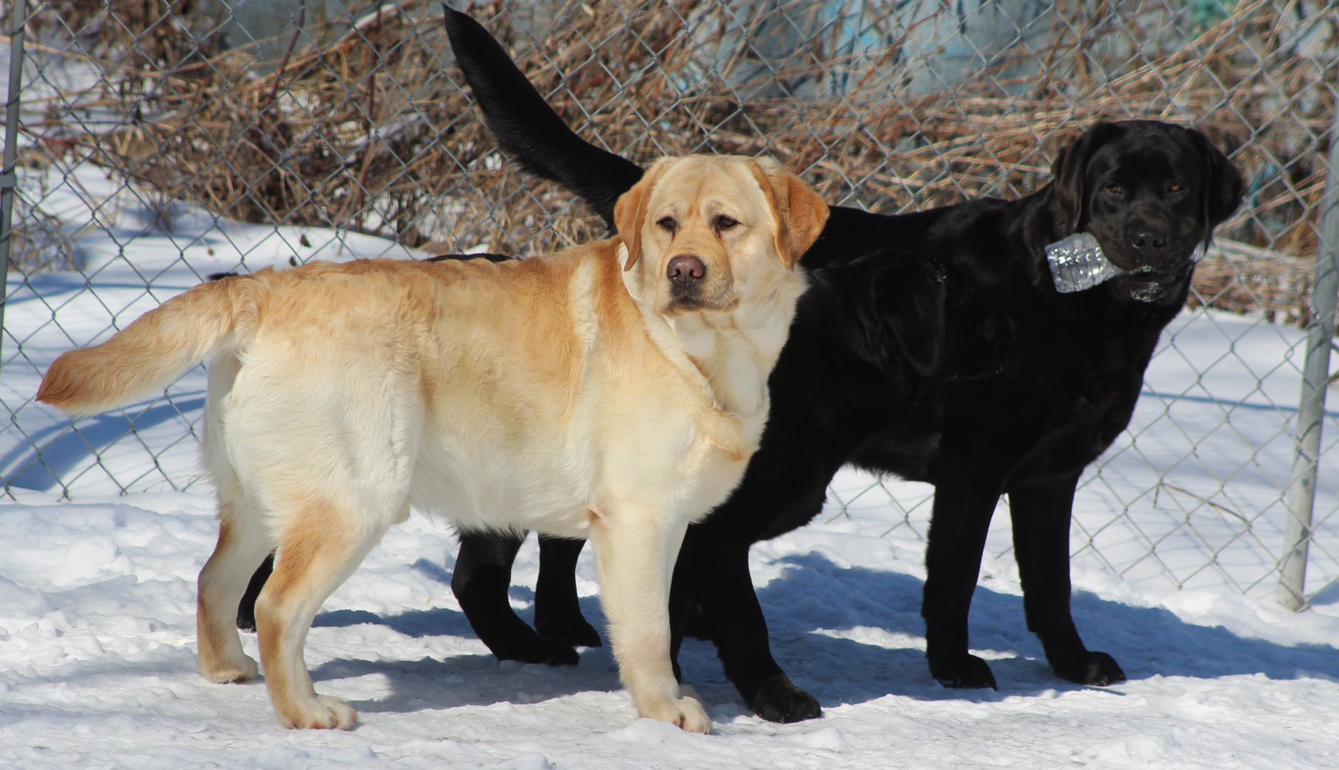 Dole Hill Labradors Labrador Retrievers Puppies Puppies For Sale