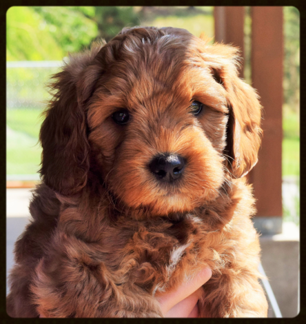 Medium Australian Labradoodle puppy