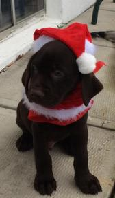 Chocolate Lab Christmas Puppy Charlie