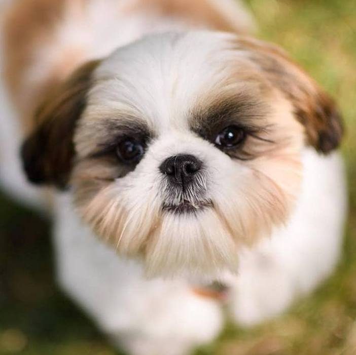 Shih Tzu Puppies For Sale Mn Sweetwater Shih Tzu