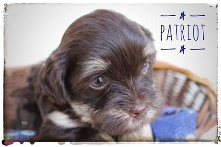 Available Puppies and Puppy Application
