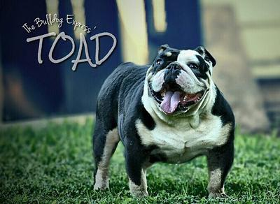 black tri old english bulldogge stud