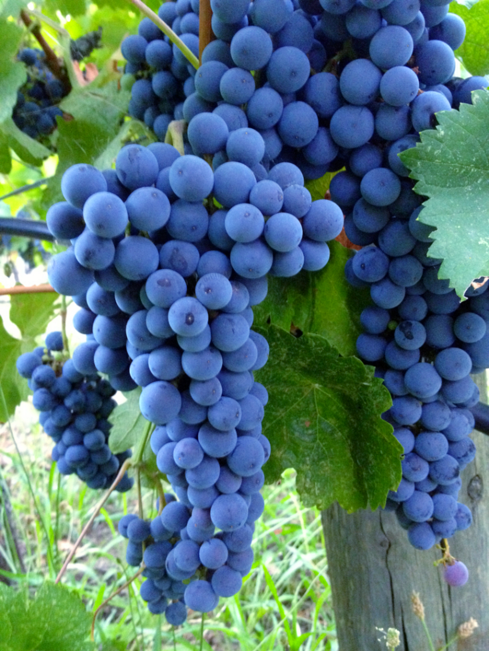 Cluster of ripe wine grapes