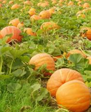 Hanks pumpkin town