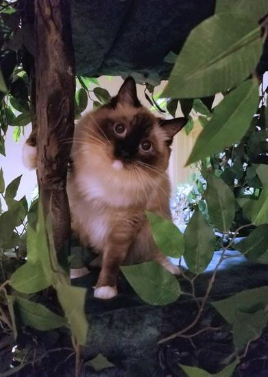 Best Cat Trees for Ragdoll Cats