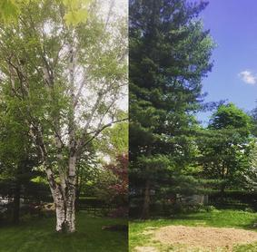 b&a Large Birch Tree Removal, Burlington Tree Services, Incl Stump Grinding
