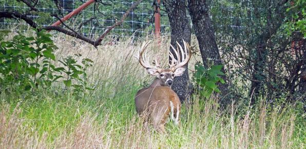 Trophy Whitetail Deer Breeding in Texas