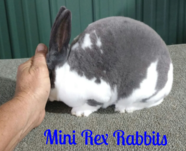 mini rex rabbits pedigree bunnies for sale