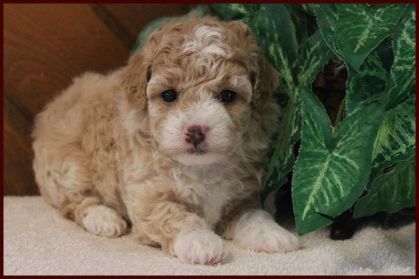 Red and white bichpoo puppy for sale