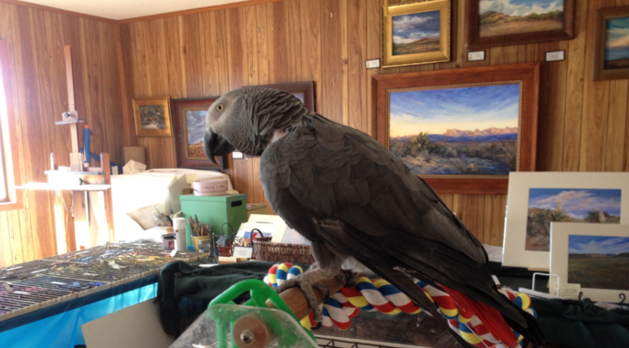 The African Grey Parrot loves accompanying artist Lindy Cook Severns to her Davis Mountains fine art studio.