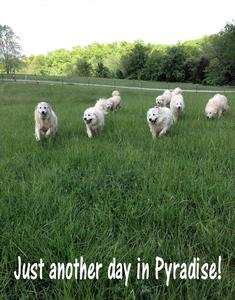 Wells Providence Great Pyrenees Livestock Guardian Dogs