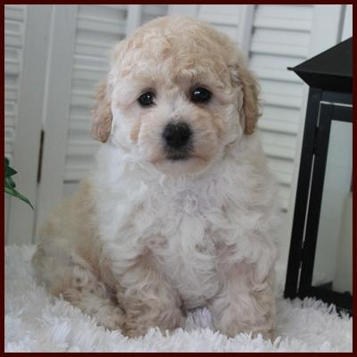 Rolling Meadows Puppies Bichpoo puppy for sale