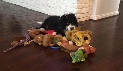Bernedoodle toys