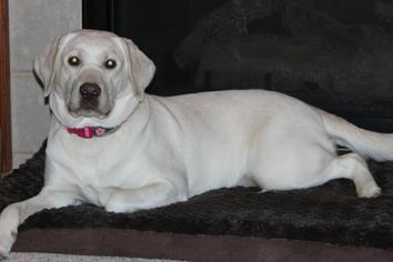 Charcoal Labs Breeder, Silver Labs Breeder - Paisley Jane Labradors