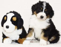 Tri-color-Bernedoodle-Puppy