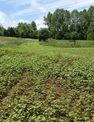 cowpeas and buckwheat food plot