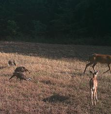 Deer and turkey