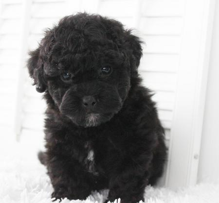 black shichon poo puppy for sale