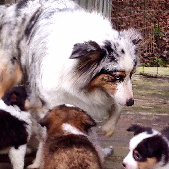 Toy Sheltie Crosses, Poshies, Pomeranian Sheltie, Australian