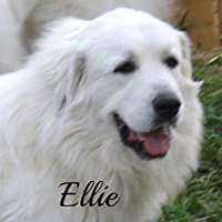 Ellie Wells Providence Great Pyrenees