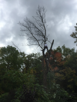 Dead Ash Tree Removal, Stoney Creek Residential Tree Service, Climber in tree