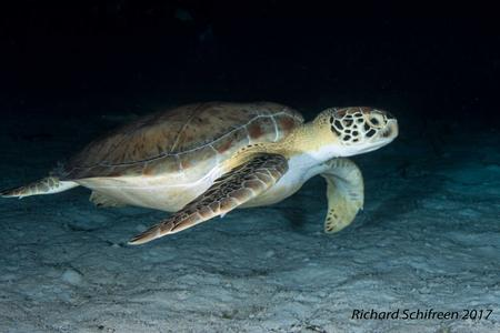 Green Sea Turtle Picture by Richard Schifreen Breezeway Bubbles SCUBA LLC