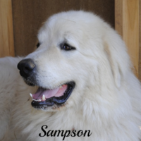 Sampson Wells Providence Great Pyrenees