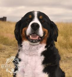 Millie Bernese Mountain Dog