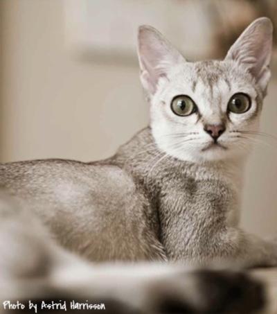 Singville Cattery - Singapura Cats, Singapura Kitten