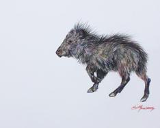 Javelina Takes A Hike colored pencil drawing by Lindy C Severns, Fort Davis TX