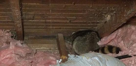 Raccoon in attic during inspection