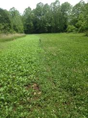 canola and clover stripped food plot