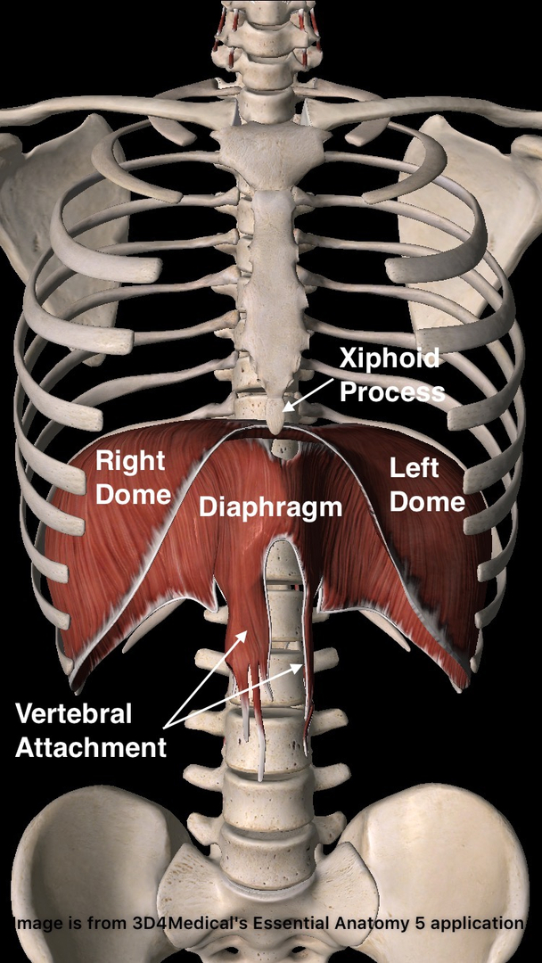 The Diaphragm The Most Important Muscle Of The Body