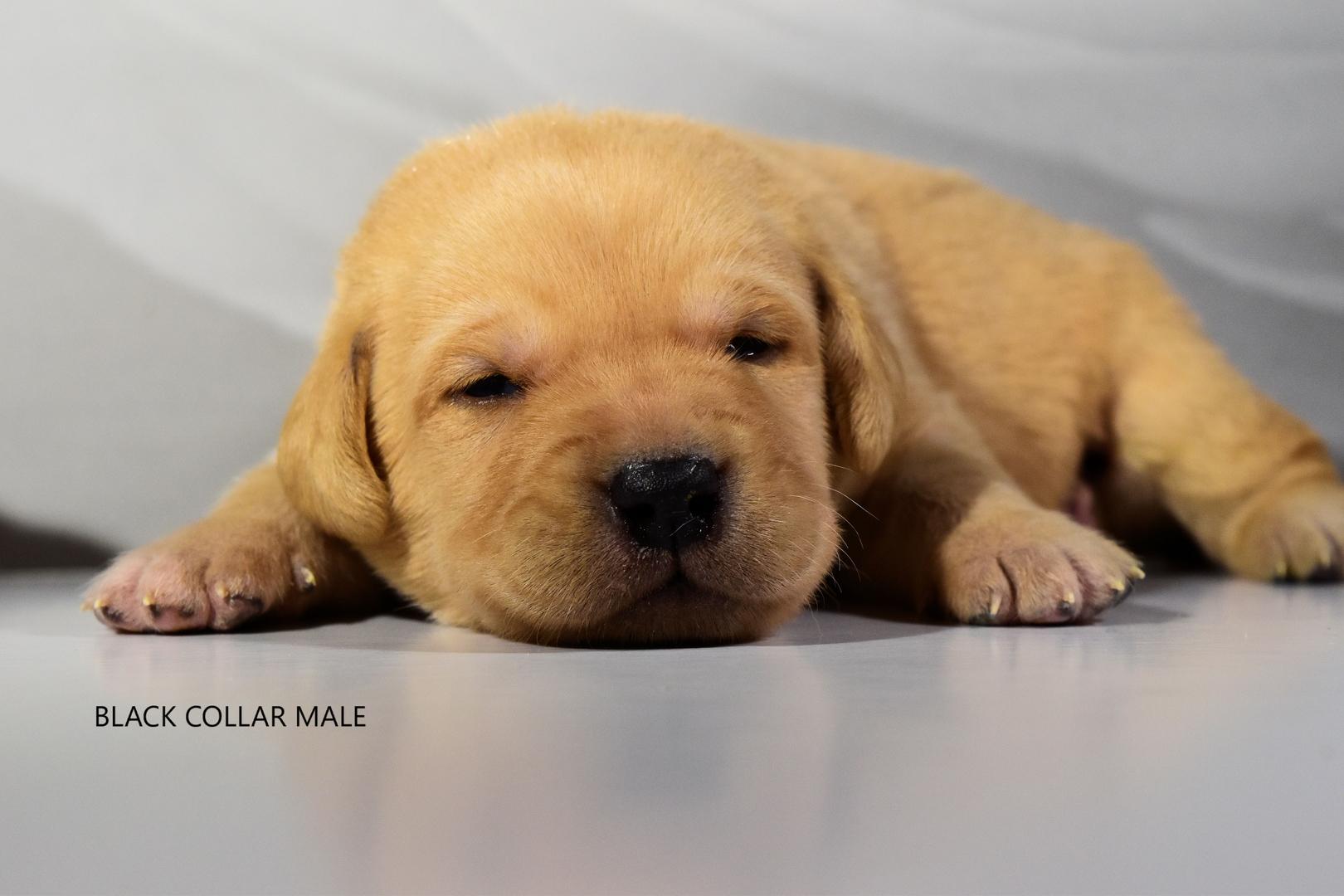 Lab Puppies For Sale - Labrador Retriever