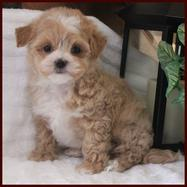 Rolling Meadows Puppies - Maltipoo, Puppies, Puppies for Sale