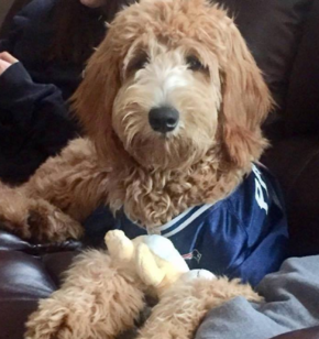 Goldendoodle Puppies for Sale Massachusetts - American