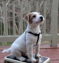 cutest jack russell terrier puppy!